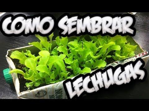 Como sembrar lechugas con exito el semillero la for Como plantar patatas en casa