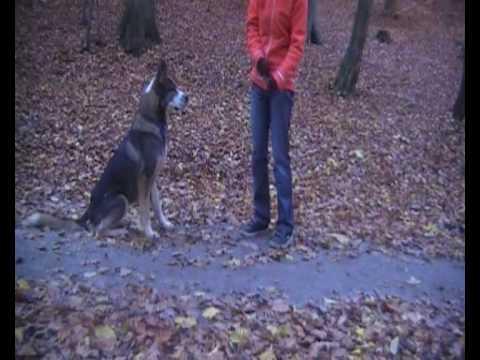 Gibson piękny pies szuka domu