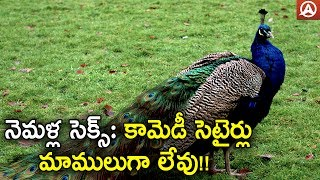 Brahmachari Peacock Remark how Peacocks have mate is most Searched question Peacocks Mate | Namaste