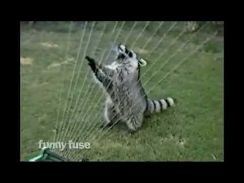 Raccoon Plays Harp