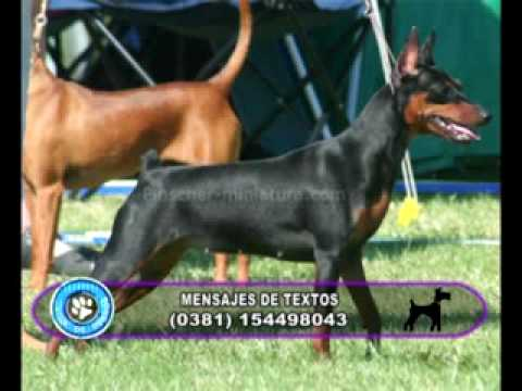 Vida de Perros: Especial Pinscher 1/4