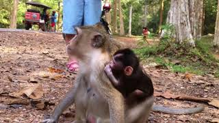 So pity baby monkey Vino is too weak because silly mother not give milk and food KL Animal Daily 236