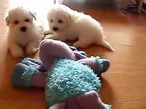 Tired Bichon Frise puppies at 6 weeks old Video