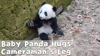 Baby Panda Tries To Latch Onto Cameraman's Leg | iPanda