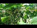 Выбираем огурцы не простые а пучковые Урожай в ваших руках mp3