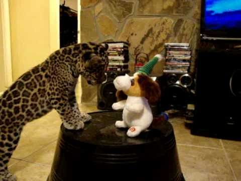 Jaguar VS Dog