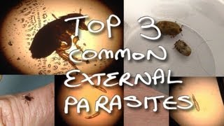 Fleas, mange / demodex and ticks! - Common external parasites in dogs - Fortitude Valley Vet