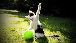 Funny Dogs and Cats - CATS vs BALLOONS - Funny Cats Popping Balloons