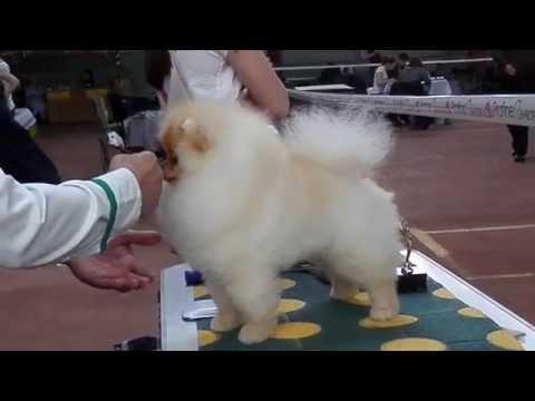 СЛАДКИЙ ДЮШЕС. Померанский шпиц на выставке собак. Odessa.