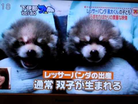 Red Panda News