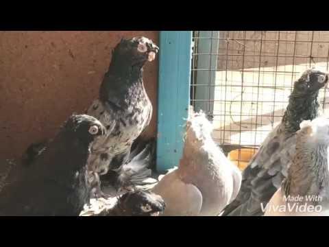 Узбекские голуби : жуки, чилкари, сизые.