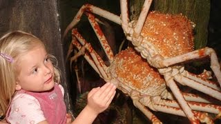 Irish Spider Crab (JerseyGroovyFilms)