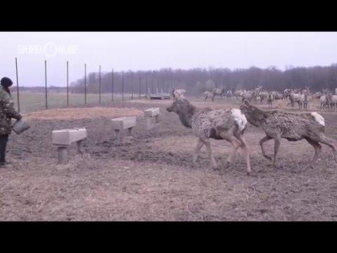 Репортаж недели #73: Алтайские маралы и сибирские косули в лесах РТ