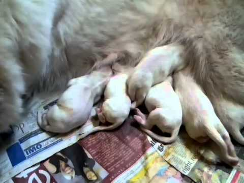 Newborn white german shepherd puppies