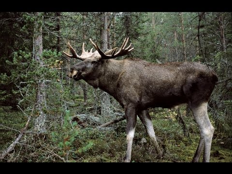 Trophy moose shot in Norway at 400 yards