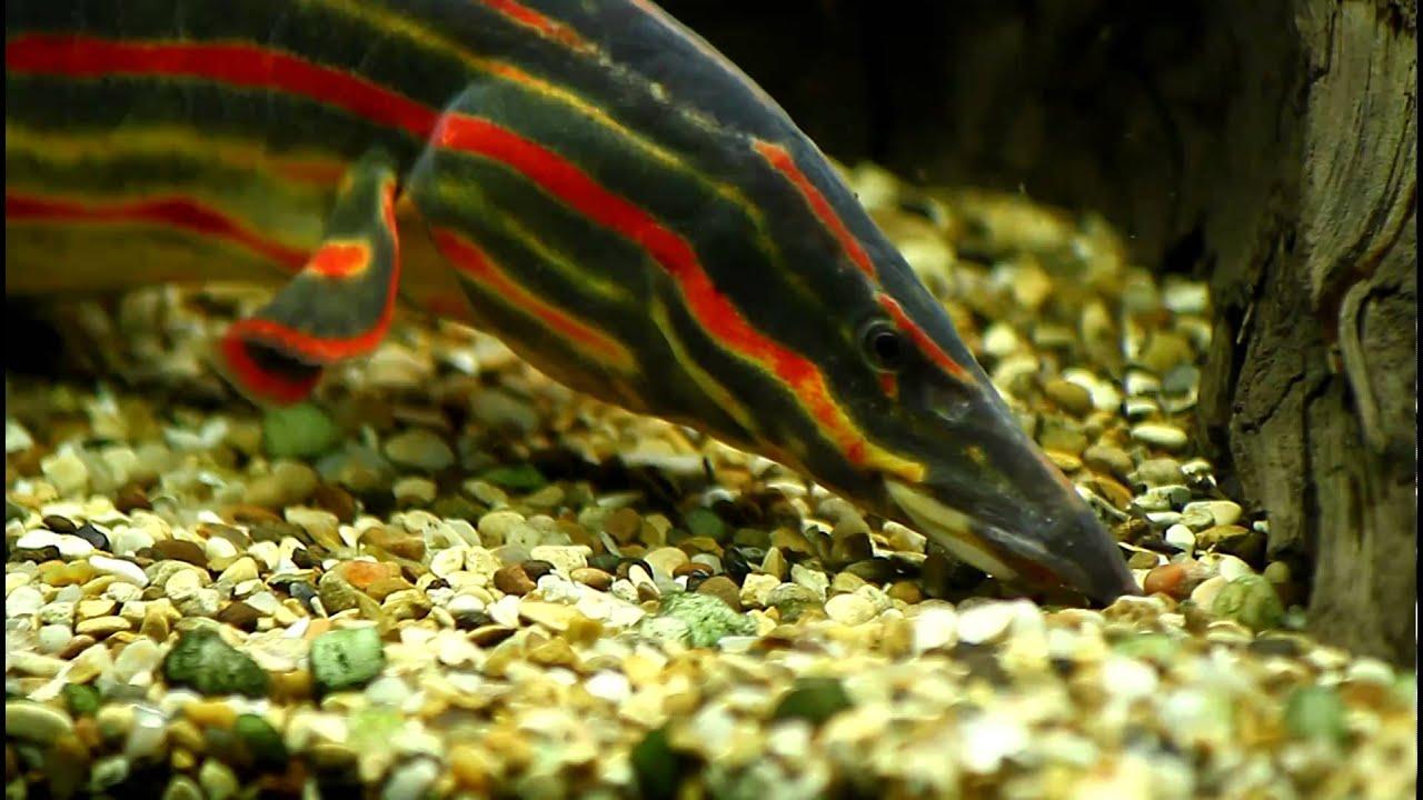 Fire Eel Size Fire Eel