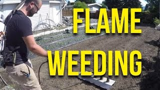 IN FOCUS: Flame Weeding