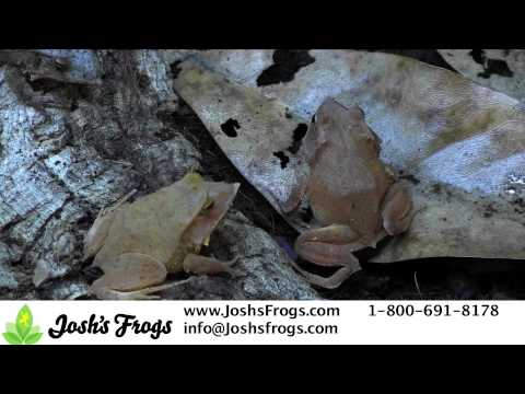 How to Care for Solomon Island Leaf Frogs