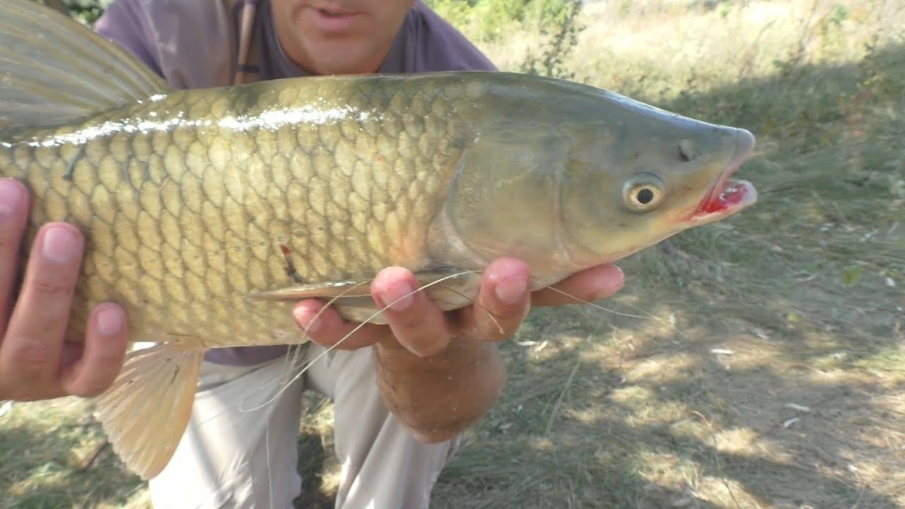 Амур толстолоб рыбалка