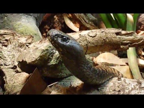 Arabian Cobra at Arabia's Wildlife Centre in Sharjah الصل الكوبرا العربية في الشارقة