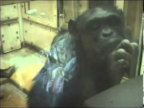 Contagious yawning in chimpanzees