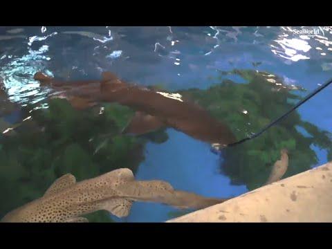 Shark Feeding   SeaWorld® San Antonio