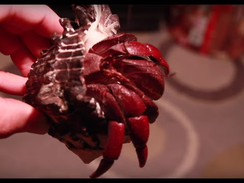 Unboxing GIANT Hermit Crabs!