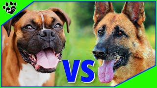 Boxer Vs German Shepherd - Which is Better? Dog vs Dog