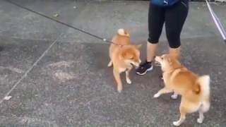"""Cachorro Capoeirista - Esse entende do """"paranauê"""""""
