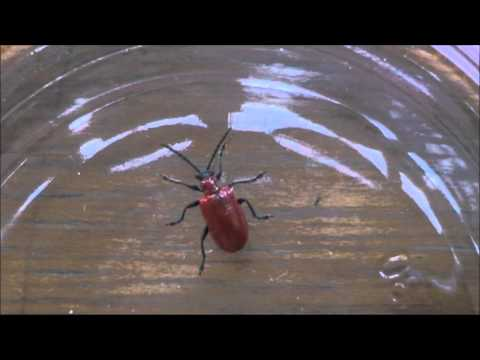 Scarlet Lily beetle squeaking (Lilioceris lilii) found in my garden