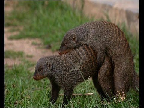 Mating habits of the Mongoose - Banded brothers - BBC Music Videos