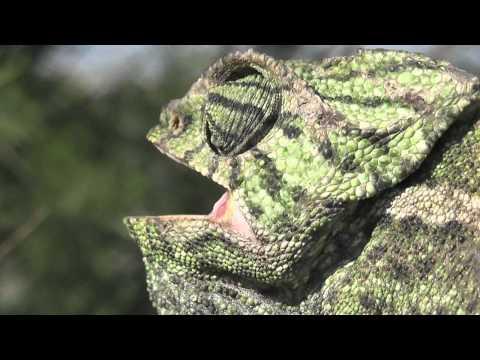 El camaleón común -Chamaeleo chamaeleon- El mago del camuflaje