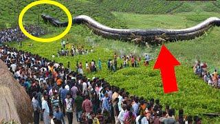 Cận Cảnh Loài Rắn Khổng Lồ Ăn Thịt Trăn Anaconda Dễ Như Trở Bàn Tay