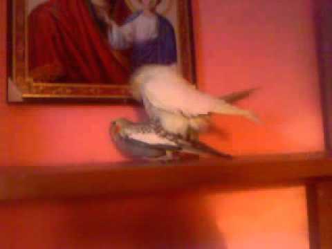 Papagali Ce Fac Sex video