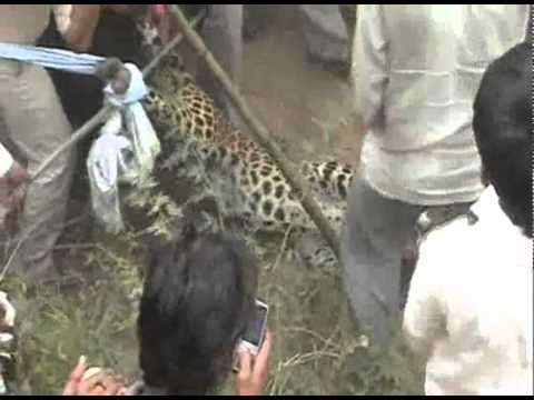 Female leopard attacked by the villagers in Mewat - Haryana - Naresh Kadyan