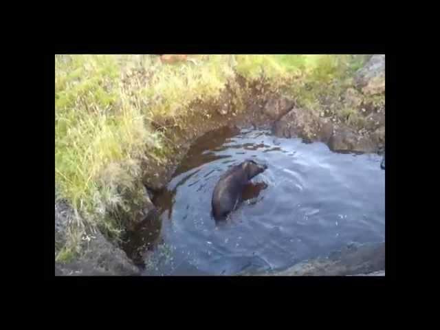 Big island boar hunting