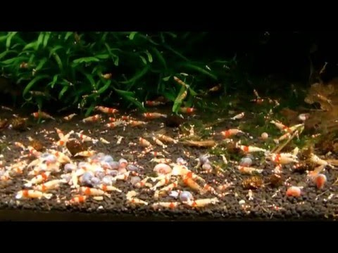 One year after - Breeding CRS, CBS and Mutations 紅水晶蝦 - 500 liters Rack - Fábio Silva (HD)