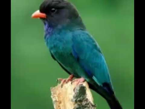 Masteran tengkek buto speed lambat,agar Lovebird ngekek panjang.