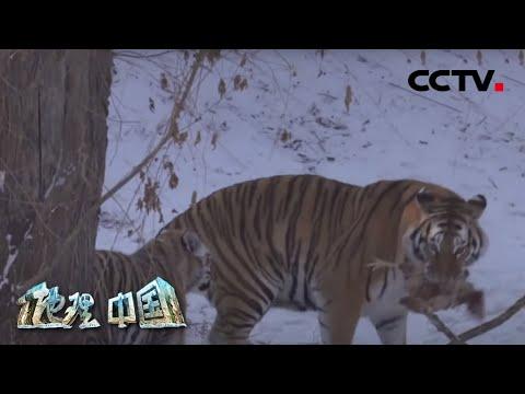 中國-地理·中國-20200708 生境迷踪·密林虎跡