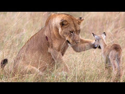 5 UNGLAUBLICHE Tiere, die anderen Tieren geholfen haben!