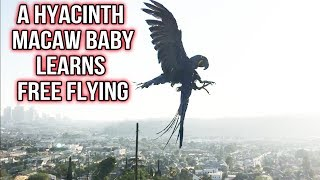FREEFLYING BABY HYACINTH MACAW LOVE FOR THE VERY FIRST TIME!