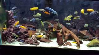 Mbuna african cichlid 180 gallon aquarium