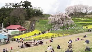 【日本の桜】福島県 三春滝桜