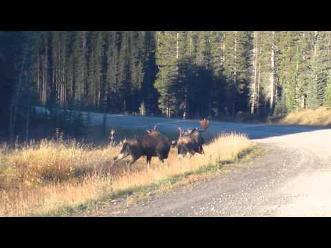 Best Moose Fight! Rutting bull moose have a fight.
