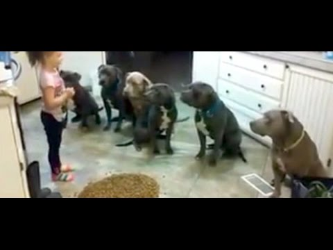 4 year old little girl feeding and controlling six #pitbulls / Girl Controls Future Dog Trainer
