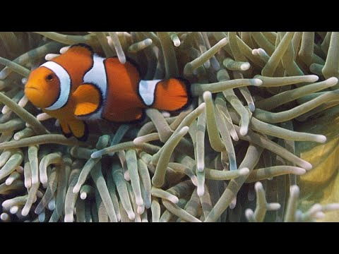 Never-Before-Seen Footage of Clownfish Hatching