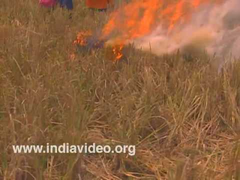 Charring the fields after harvest in Kuttanadu