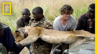 Lion Falls From Tree During Rescue From a Wire Snare Injury | National Geographic