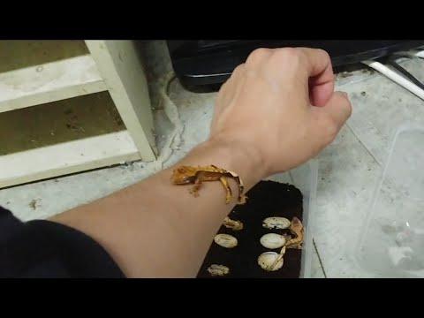도마뱅 공장장  계속나오는 아기도마뱀들!