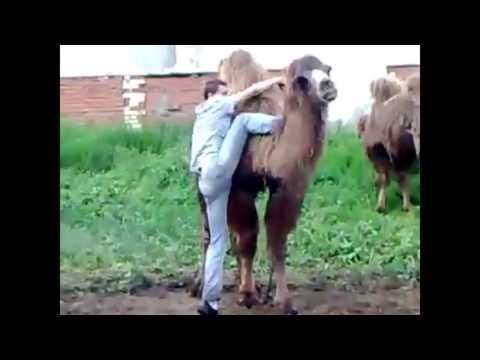 Оседлал верблюда